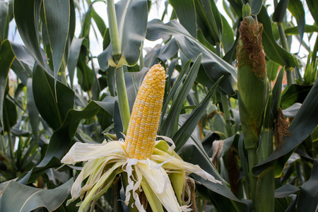 Close-up  sweet corn on stalk in field Stock Photo