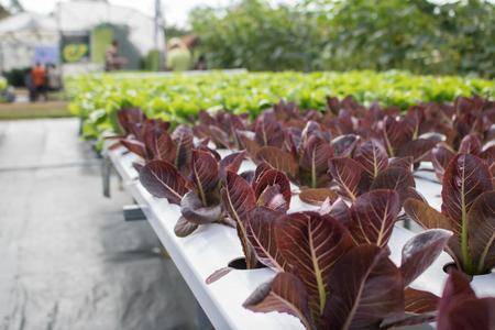 purple lettuce vegetables hydroponic  with copy space ,Hydroponic vegetables Stock Photo