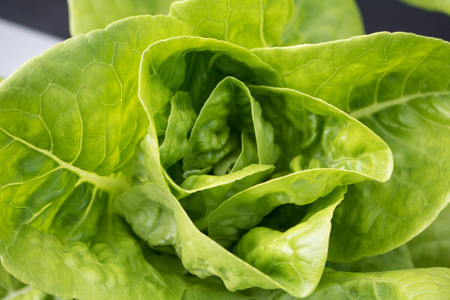 Close-up Green lettuce vegetables hydroponic  with copy space ,Hydroponic vegetables