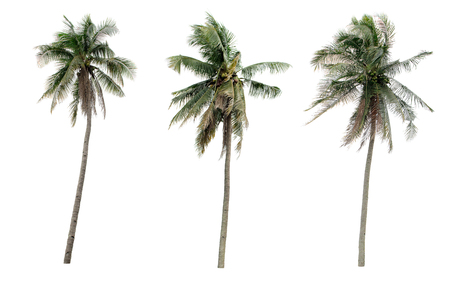 Collection Different Palms coconut the garden isolated on white background Stock Photo