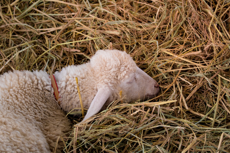 Lamb or sheep sweet sleeping  on rice straw with copy space