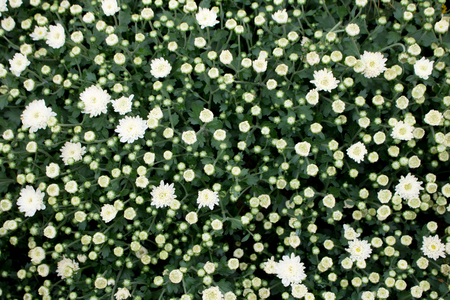 field of blooming white flowers  Background with the Flowers