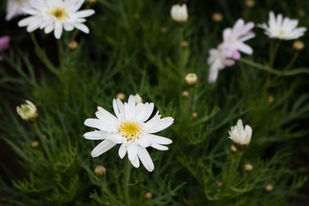 Close-up Spanish needle white flowers on green background Stock Photo
