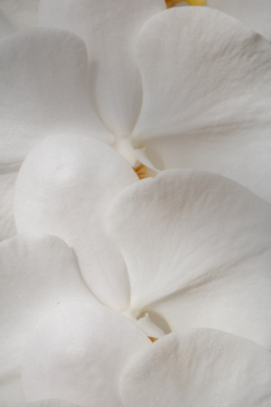 Close-up white Phalaenopsis or Moth dendrobium Orchid flower in tropical garden Floral  with copy space