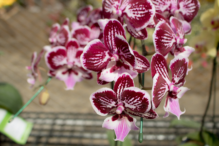 Close-up  Phalaenopsis or Moth dendrobium Orchid flower in tropical garden Floral  with copy space