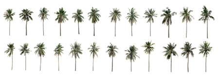 Beautiful Twenty-four coconut palm trees in the garden isolated on white background Stock Photo