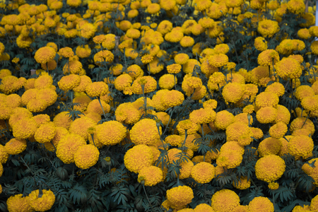 close-up beautiful marigold flowers in the garden.In the morning Stock Photo
