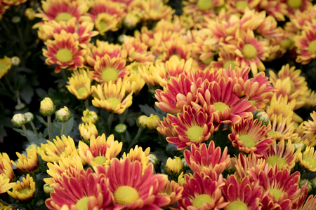 Close-up yellow  autumn flower in the garden.Chrysanthemum Flower. and Morning light Is a beautiful flower