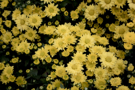 yellow  autumn flower in the garden. A bouquet of chrysanthemums. and Morning light Is a beautiful flower Stock Photo