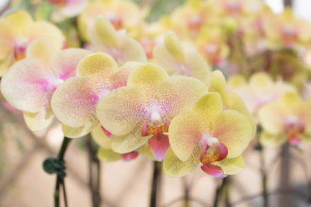Close-up twilight Angel  Phalaenopsis or Moth dendrobium Orchid flower in tropical garden Floral  with copy space Stock Photo