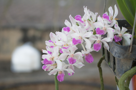 Close-up  Phalaenopsis or Moth dendrobium Orchid flower in tropical garden Floral,Phynchostyis Species