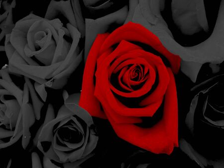 Close-up Black and red roses with water drops forvalentine day Stok Fotoğraf