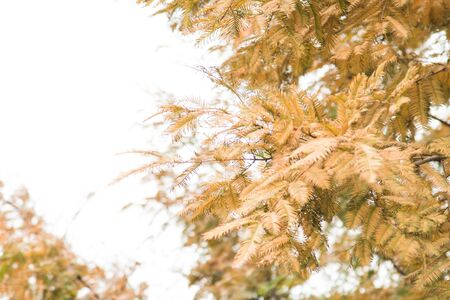 Close-up  Yellow pine leaves on white background with copy space 版權商用圖片