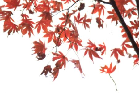 Abstract blur Beautiful Colorful maple Leaves on the tree with copy space,abstract blur background