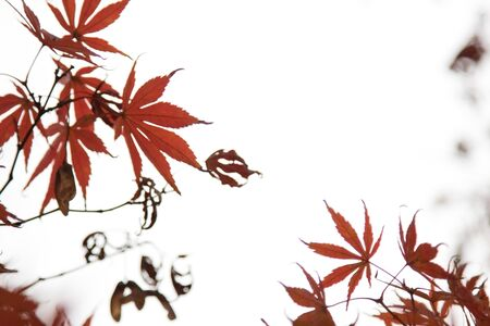 Beautiful Colorful maple Leaves on the tree with copy space