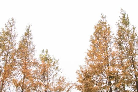 Yellow pine leaves on white background with copy space