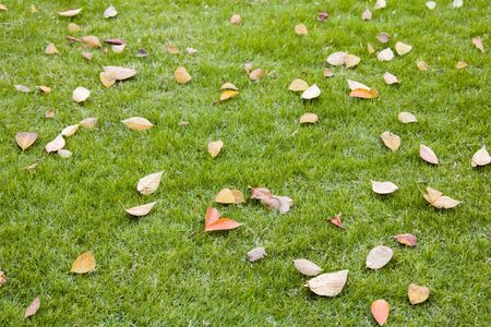 Dry leaf fall on the green lawn in public park