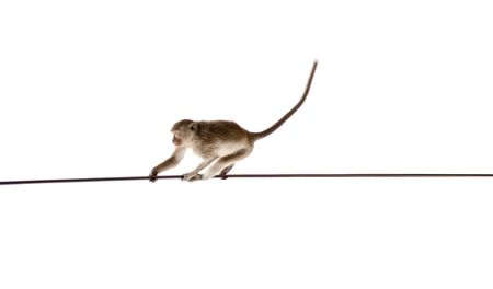 Monkey swinging on rope isolated on white background with copy space 版權商用圖片
