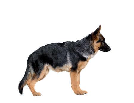 German Shepherd Dog isolate white background