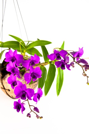dendrobium: violet orcid hanging in coconut shell Stock Photo