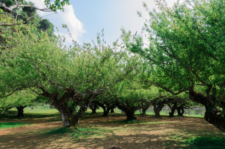 plum tree: the garden of plum tree in Thailand Stock Photo