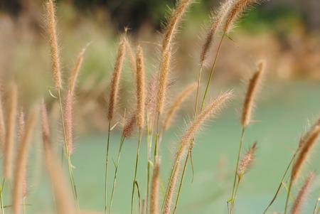 grass flower close up
