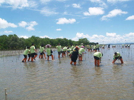 mangrove forest planting Thailand. Stock Photo