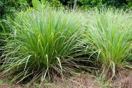 Lemongrass in Thailand