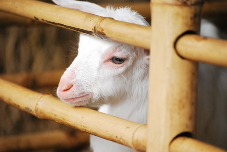Goat is waiting fresh milk in float market,Patthaya thailand Stock Photo