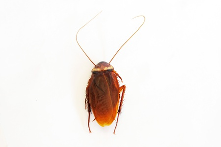 Dead cockroach isolated on a white background   Stock Photo