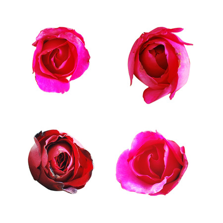 All roses isolate on white background