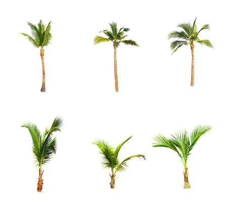 Coconut trees on white background Foto de archivo