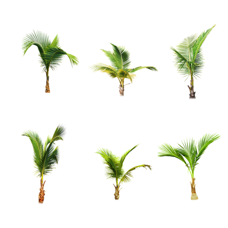crecimiento planta: �rboles de coco en el fondo blanco Foto de archivo