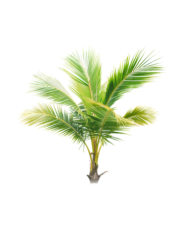 Coconut trees on white background Stock Photo