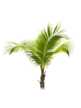 tropical evergreen forest: Coconut tree on white background