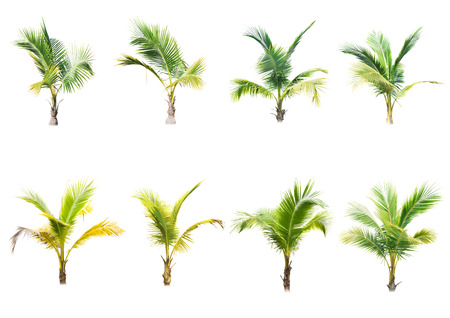 bark of palm tree: coconut trees on white background Stock Photo