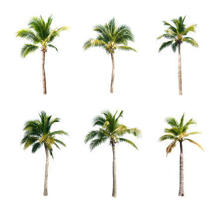 tropical evergreen forest: coconut trees on white background Stock Photo