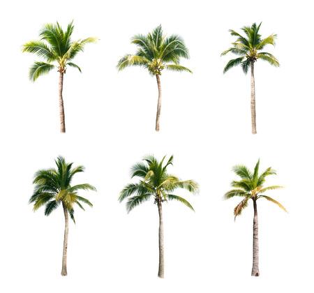 kokospalmen op een witte achtergrond Stockfoto
