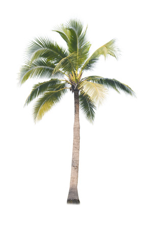 coconut tree on white background Standard-Bild