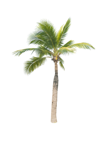 tropical evergreen forest: coconut tree on white background Stock Photo