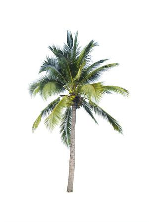 subtropical: coconut tree on white background Stock Photo