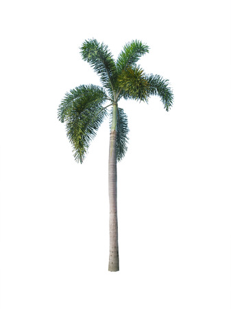 tropical evergreen forest: Betel palm tree isolated on white. Stock Photo