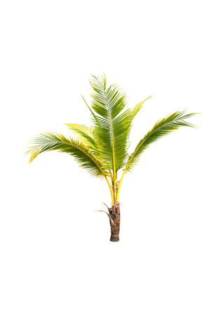 coconut tree on white background Stock Photo