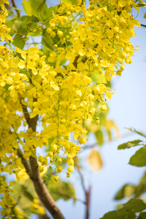 National tree of Thailand Golden Shower flowers on blue sky background