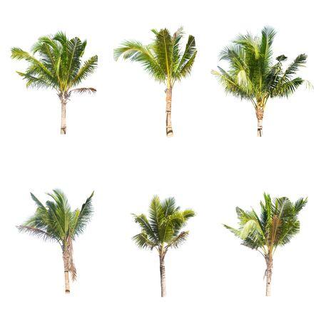 Coconut tree isolated on white background Foto de archivo