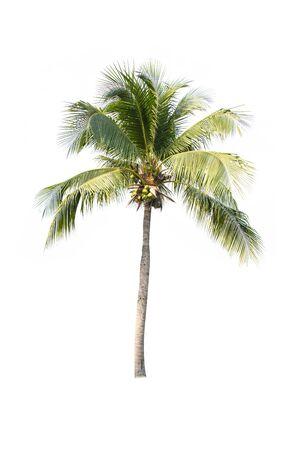 Cocotero aislado sobre fondo blanco. Foto de archivo