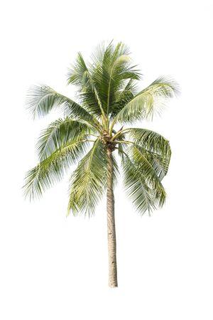 Albero di cocco isolato su sfondo bianco