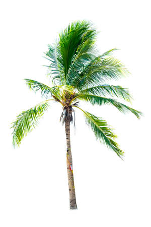 Palm tree or Coconut tree ,a green leaf isolation for summer background ,relax and vacation holiday summer concept Banco de Imagens
