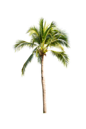 Palm tree or Coconut tree ,a green leaf isolation for summer background ,relax and vacation holiday summer concept