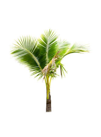 Palm tree or Coconut tree ,a green leaf isolation for summer background ,relax and vacation holiday summer concept Фото со стока